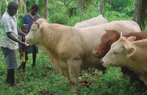 VanuatuBeef